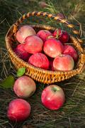 Basket with apples healthy organic nutrition food. Autumn garden harvest - stock photo