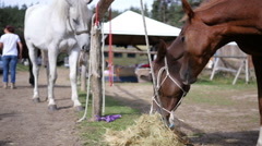 Horses resting on a leash and eat hay in the equestrian horseriding club school Stock Footage