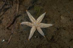 Genetical mutation Starfish Distolasterias nipon with sixrays instead of a Stock Photos