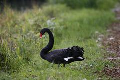 Black swan Cygnus atratus Bad Aibling Bavaria Germany Europe Stock Photos