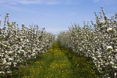 Apple orchard blossoms late spring St Paul dAbbotsford Eastern Townships Quebec - stock photo