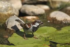 House sparrow Passer domesticus male on a lily pad in the pond Bavaria Germany - stock photo