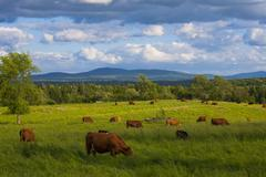 Hayfield and beef cattle Eastern Townships Waterloo Quebec Canada North America - stock photo