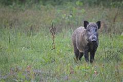 Wild boar Sus scrofa sow standing alert in the grass southern Hungary Stock Photos