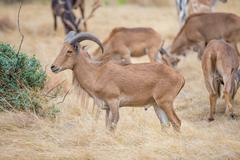 Texas wild Aoudad or Barbary sheep ram - stock photo