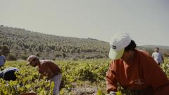 Vineyard,agriculture, farmer,workers pick,collect grapes slow motion Stock Footage