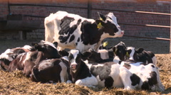 Cows on the farm3 Stock Footage