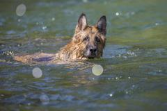 The German Shepherd dog is swimming Stock Photos