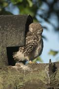 Young Little Owl Athene noctua preening plumage Emsland Lower Saxony Germany Stock Photos