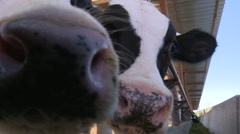 Cows on the farm5 Stock Footage