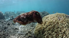 Cuttlefish Laying Eggs Stock Footage