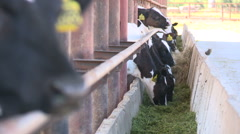 Cows on the farm6 Stock Footage