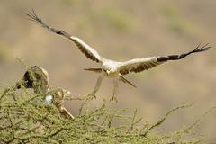 Tawny Eagle Aquila rapax female sitting in the treetop male approaching Samburu Stock Photos