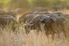 Stock Photo of Cape Buffaloes or African Buffaloes Syncerus caffer herd in the evening light