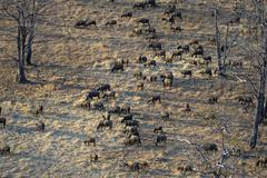 African Buffaloes or Cape Buffaloes Syncerus caffer herd in the tree savannah - stock photo