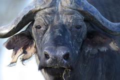 Stock Photo of Cape Buffalo or African Buffalo Syncerus caffer South Luangwa National Park