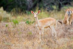 Wild South Texas spotted fallow deer fawn - stock photo