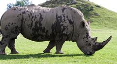 Beautiful close-up of the white rhinoceros - stock photo
