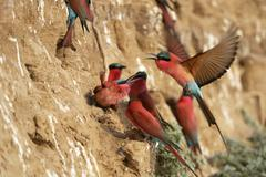 Southern Carmine Bee eaters Merops nubicoides at the breeding wall approaching - stock photo