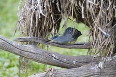 Stock Photo of Striated Heron Butorides striata Lower Zambezi National Park Zambia Africa