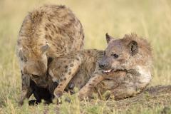 Stock Photo of Spotted hyenas Crocuta crocuta sniffing each other Maasai Mara National Reserve