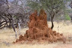 Termite mounds amongst thorn bush savannah Samburu National Reserve Kenya Africa Stock Photos