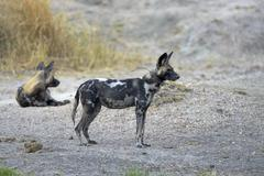 African Wild Dog Lycaon pictus female herd leader with transmitter South - stock photo