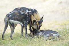 African wild dogs Lycaon pictus pups pack leader showing devotion South Luangwa - stock photo