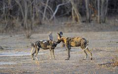 African wild dogs Lycaon pictus lead dog with male in the evening light South - stock photo