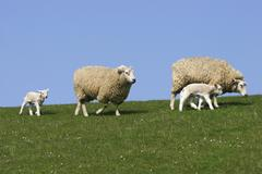 Sheep Ovis ammon faries ewes and lambs on a dyke SchleswigHolstein Germany - stock photo