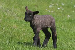 Sheep Ovis ammon faries black lamb SchleswigHolstein Germany Europe - stock photo