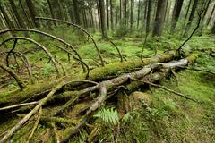 Deadwood in primeval spruce forest Norway Spruce Picea abies Harz National Park - stock photo