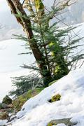 Closeup on conifer with frozen lake in background - stock photo