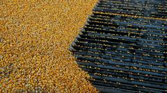 Harvested Corn Being Unloaded at a Grain Elevator - stock photo