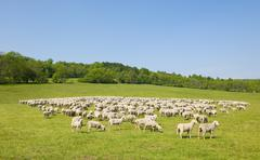 A flock of domestic sheep at the Hainich National Park Thuringia Germany Europe Stock Photos