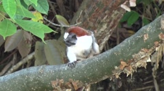 Geoffroy's Tamarin filmed from boat 2 Stock Footage