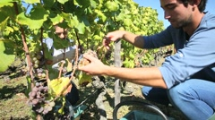 Young people picking grape during harvest season Stock Footage