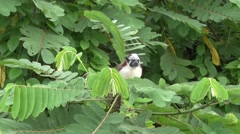Geoffroy's Tamarin filmed from boat 4 Stock Footage