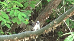 Geoffroy's Tamarin filmed from boat 3 Stock Footage