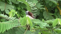 Geoffroy's Tamarin filmed from boat 6 Stock Footage