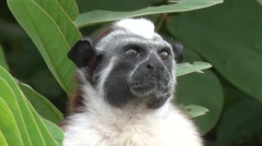 Geoffroy's Tamarin filmed from boat 7 Stock Footage