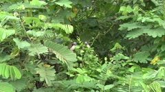 Geoffroy's Tamarin group filmed from boat 1 Stock Footage