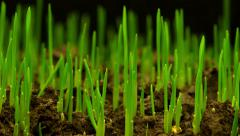Growth of Fresh New Green Grass Stock Footage