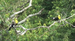 Keel-billed Toucan couple in canopy 2 Stock Footage