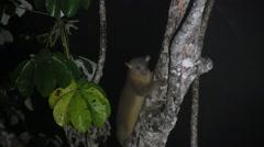 Kinkajou climb tree and sniffing 1 Stock Footage