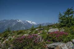 Almrausch in frtot of Grossvenediger High Tauern National Park East Tyrol Tyrol - stock photo