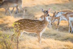 Chital Deer Doe Stock Photos