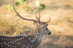 Axis Deer Close Up - stock photo