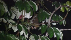 Kinkajou feed on fruit 6 Stock Footage