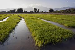 Stock Photo of Rice paddies in the evening light near Pin tauk Shan State Golden Triangle